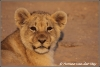 Jong leeuwtje in de Kalahari Woestijn/Lion cub in the Kalahari Dessert