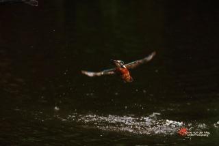 1-Close-up-ijsvogel-vliegend-copyright-YvonnevanderMey-1