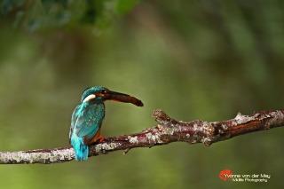 Close-up-ijsvogel-met-visje-copyright-YvonnevanderMey-1