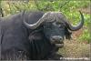 old male buffalo making funny faces / oude mannetjes buffel trekt rare gezichten (Copyright Yvonne van der Mey)