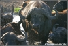 buffalo herd released from flies / kudde buffels van vliegen verlost (Copyright Yvonne van der Mey)