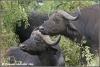 buffel vrouwtjes / buffalo cows (Copyright Yvonne van der Mey)