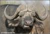 kaapse buffel / cape buffalo (Copyright Yvonne van der Mey)