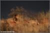 jonge leeuw wordt weggejaagd / young lion being chased away (Copyright Yvonne van der Mey)