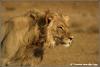 jonge leeuw / young lion (Copyright Yvonne van der Mey)