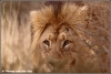 leeuw op jacht / lion hunting (Copyright Yvonne van der Mey)