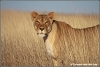 leeuwin in hoog gras / lioness in tall grass (Copyright Yvonne van der Mey)