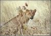 leeuwin mascotte / lioness (Copyright Yvonne van der Mey)