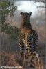 leopard male / mannetjes luipaard (Copyright Yvonne van der Mey)