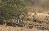 luipaard welpje / leopard cub (Copyright Yvonne van der Mey)