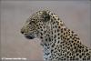 mannetjes luipaard / male leopard (Copyright Yvonne van der Mey)