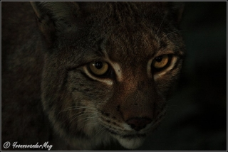 Lynx-close-up--copyright-YvonnevanderMey.jpg
