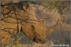 witte neushoorn vrouwtje / white female rhino (Copyright Yvonne van der Mey)