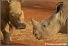 witte neushoorns dreigen / white rhinos threatening (Copyright Yvonne van der Mey)