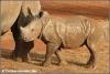 witte neushoorn kalf / white rhino calf (Copyright Yvonne van der Mey)