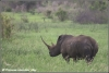 witte neushoornstier / white rhinobull (Copyright Yvonne van der Mey)