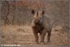 zwarte neushoorn / black rhino (Copyright Yvonne van der Mey)
