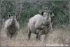 zwarte neushoorn moeder en kalf / black rhino motherandcalf (Copyright Yvonne van der Mey)