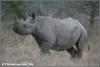 zwarte neushoorn rennend / black rhino running (Copyright Yvonne van der Mey)