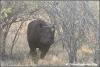 zwarte neushoorn valt aan / blackrhino attacking (Copyright Yvonne van der Mey)