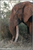 big tusker duke close (Copyright Yvonne van der Mey)