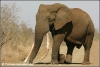 big tusker duke (Copyright Yvonne van der Mey)