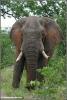 elephant bull posing / olifant bul poseert (Copyright Yvonne van der Mey)
