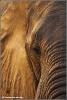 A Golden moment (Elephantidae)  (Copyright Yvonne van der Mey)