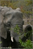 jonge olifant etend / young elephant eating (Copyright Yvonne van der Mey)