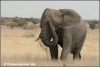 jonge olifant op de savanna / young elephant on the savannah (Copyright Yvonne van der Mey)