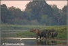 kudde drinkende olifanten / herd of elephants drinking (Copyright Yvonne van der Mey)