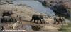 kudde olifanten / herd of elephants (Copyright Yvonne van der Mey)
