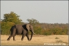 olifant op de savanne / elephant on the savannah (Copyright Yvonne van der Mey)