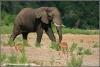 olifant en impalas / elephant and impalas (Copyright Yvonne van der Mey)