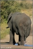 olifant op de weg / elephant on the road (Copyright Yvonne van der Mey)