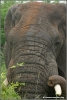olifant stier close-up / elephant bull close-up (Copyright Yvonne van der Mey)