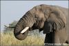 olifant drinkend / elephant drinking