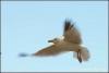 vliegende-meeuw-copyright-yvonnevandermey