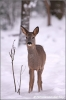 reegeit-in-de-sneeuw-roedeer-female-in-the-snow-copyright-yvonnevandermey