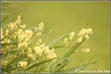 bloeiende-struik-copyright-yvonnevandermey