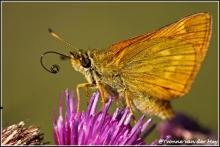 drinkende-vlinder-copyright-yvonnevandermey