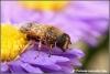 Bij met dauwdruppels / Bee with dewdrops (Copyright Yvonne van der Mey)