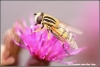 Prachtig insect / beautiful insect in macro (Copyright Yvonne van der Mey)