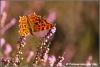 Gehakkelde aurelia / comma (Copyright Yvonne van der Mey)