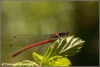 Vuurjuffer vrouwtje / large red damselfly female (Copyright Yvonne van der Mey)
