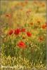 klaprozen-en-andere-bloemen-copyright-yvonnevandermey