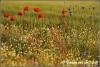 veldje-klaprozen-en-wilde-bloemen-copyright