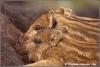 wild-zwijn-biggetjes-zogend-wild-piglets-suckling-copyright-yvonnevandermey