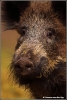 wild-zwijn-portret-wild-pig-portrait-copyright-yvonnevandermey