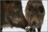 wild-zwijn-zeug-met-overloper-big-wild-pig-sow-with-piglet-copyright-yvonnevandermey
